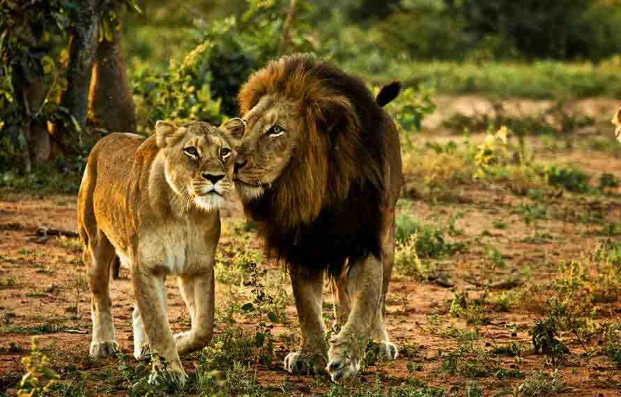 Looking For Wildlife Safari in India? | free Classified | Free Advertising | free classified ads