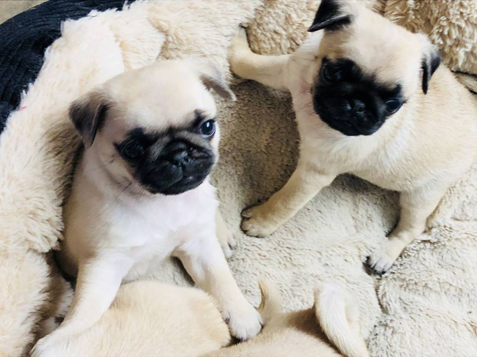 Beautiful Pug puppies now available | free Classified | Free Advertising | free classified ads